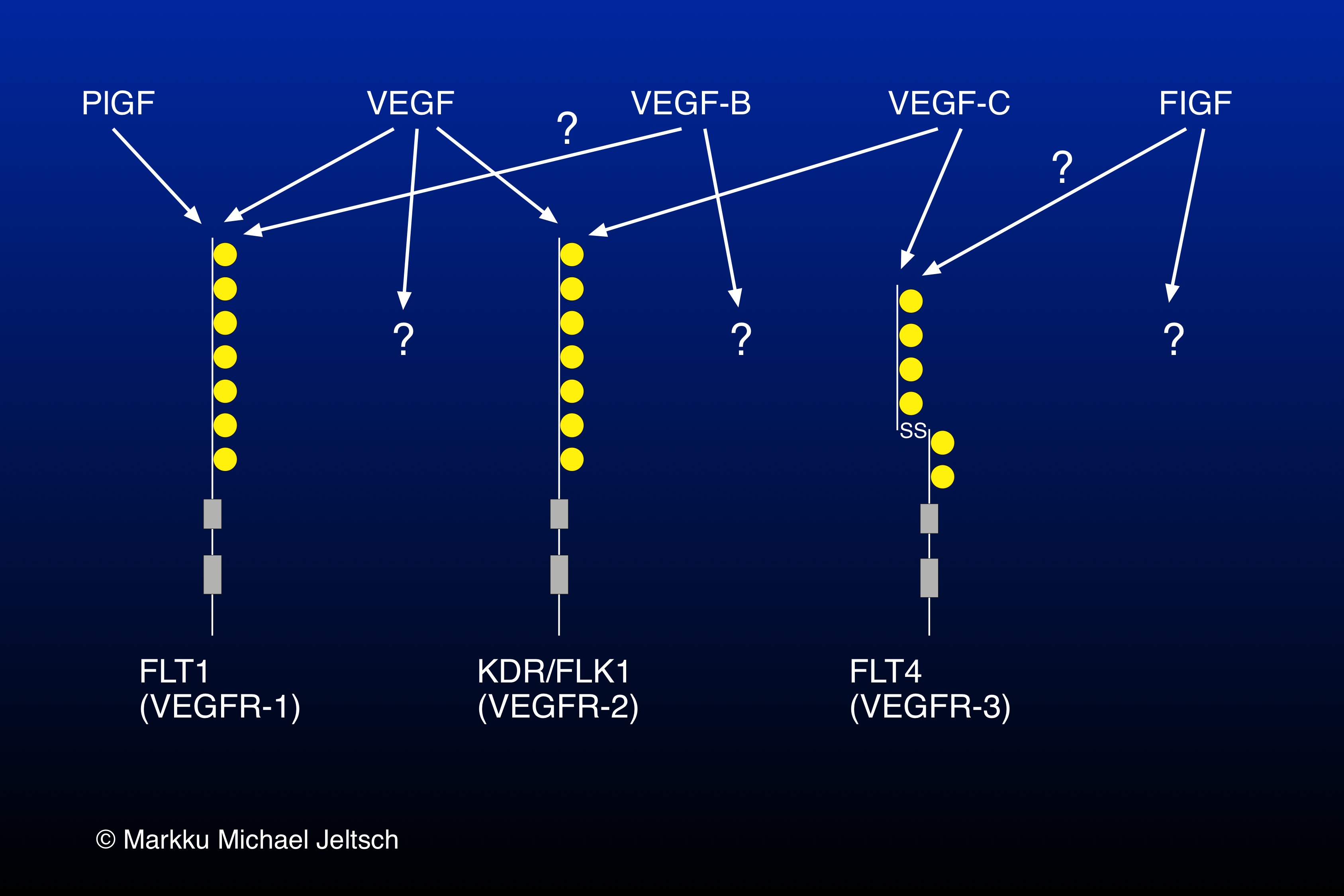 receptor specificity within the VEGF family
