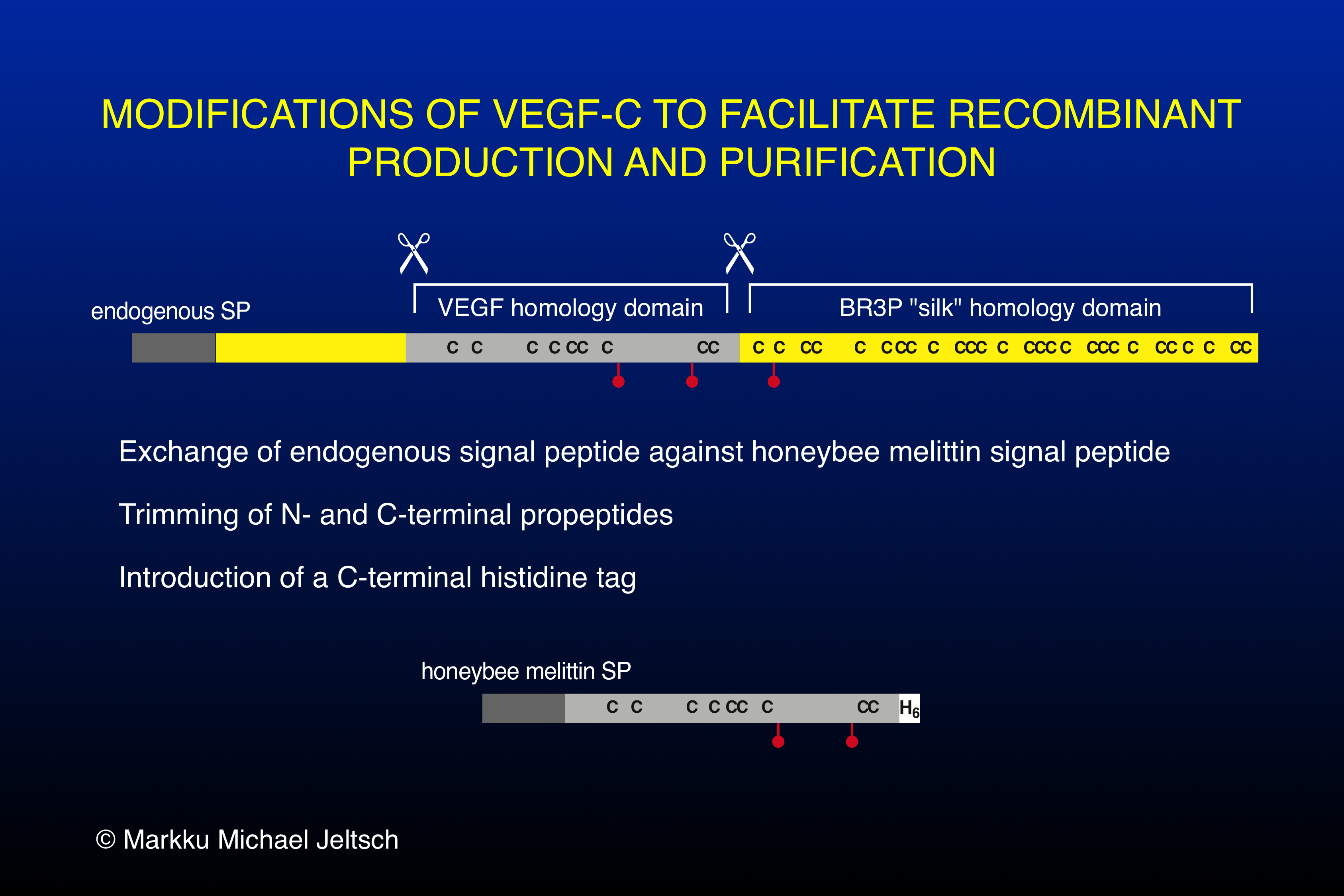 VEGF-C modifications to facilitate recombinant protein production & purification