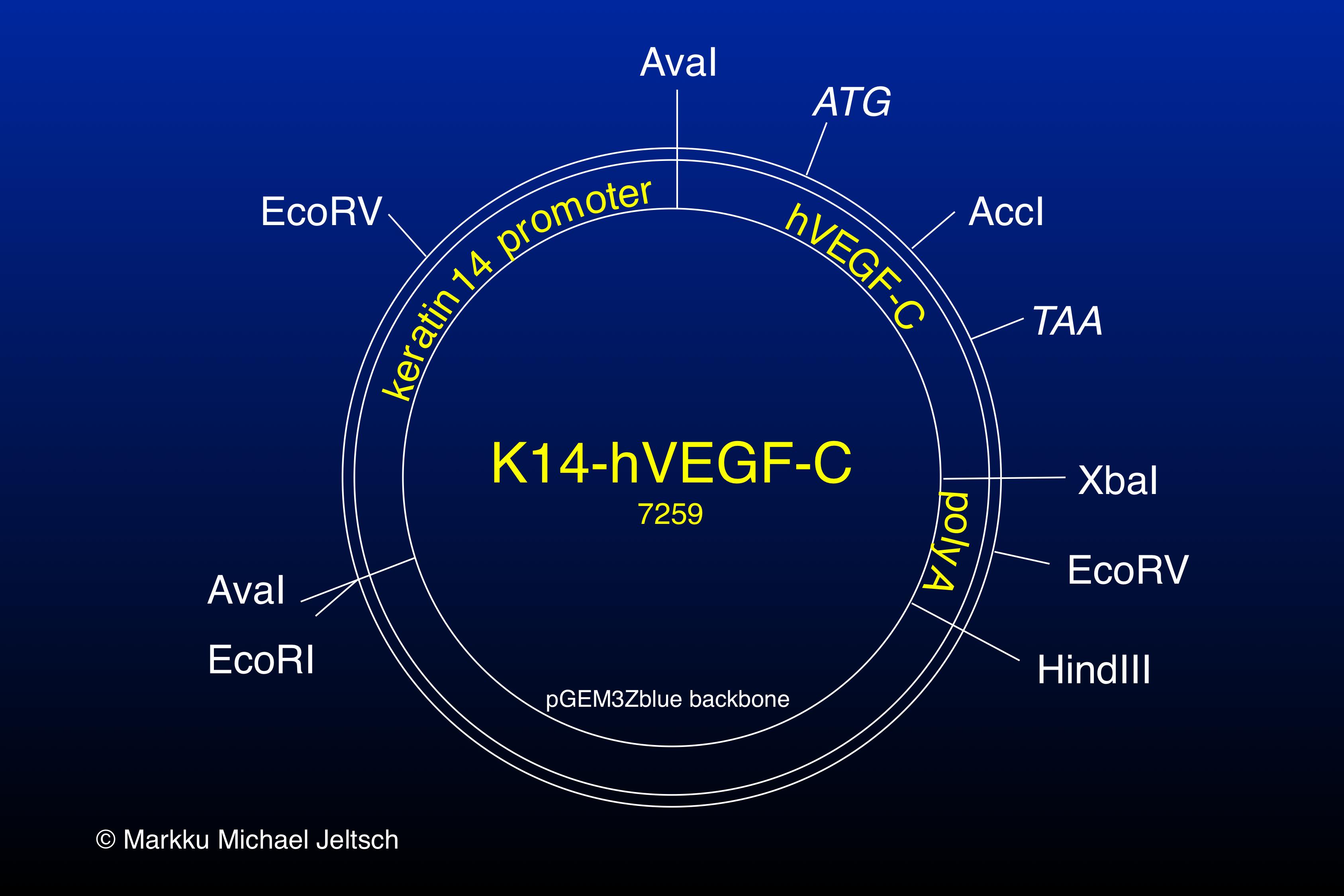K14-hVEGF-C transgene expression vector map