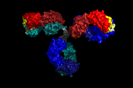 3D rendering of an IgG antibody (Pymol)
