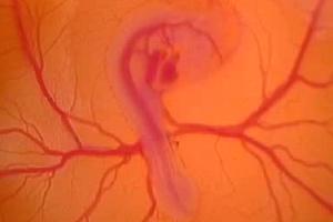 Chicken embryo