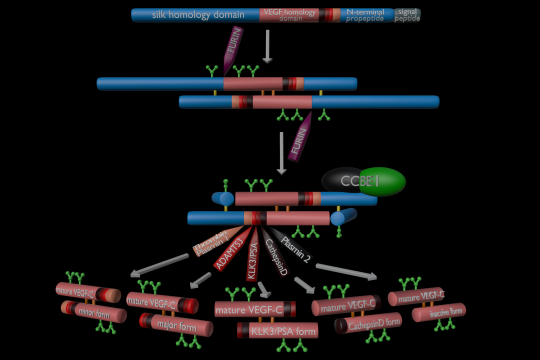 Proteolytic activation of VEGF-C