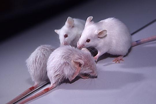 K14-VEGF-C transgenic mice with littermate
