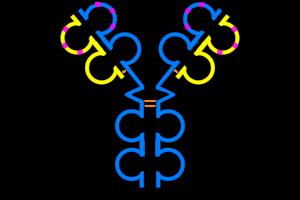 IgG antibody (schematic)