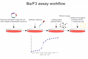 Ba/F3 assay workflow
