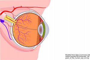 https://commons.wikimedia.org/wiki/File:Schematic_diagram_of_the_human_eye_en.svg