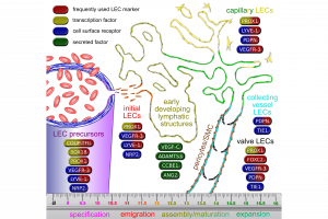 Key and marker molecules in the development of the lymphatic system