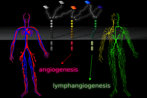The blood and lymphatic vascular systems